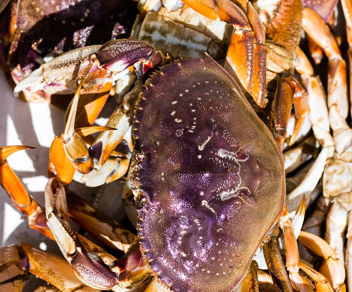 Learn how to prepare Dungeness crab + Video.   How to Cook   Seafood   Shellfish   Oregon   Fish & Wildlife   Ocean Life   www.megiswell.com